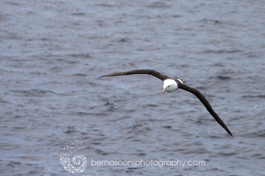 The Albatross. What a magnificent bird