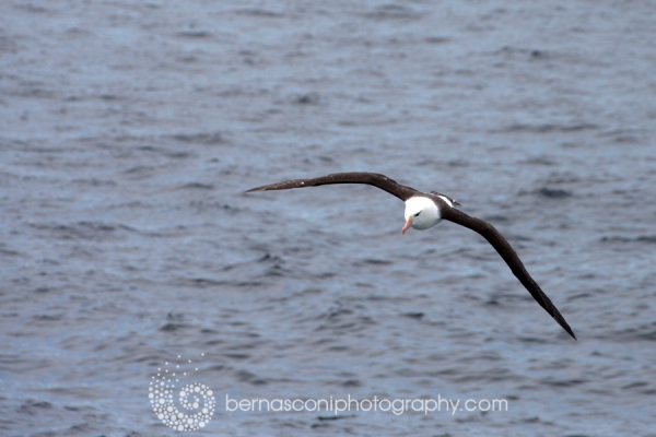The Albatross. What a magnificent bird
