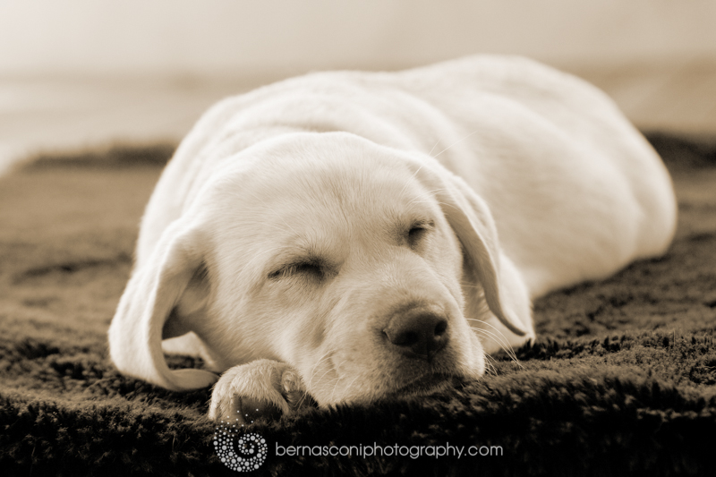 Wanna fall in love with a super cute Labrador Puppy?….Click Here…